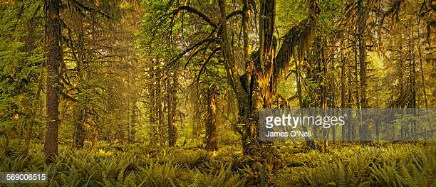 Dense rainforest panoramic with filtered sunlight