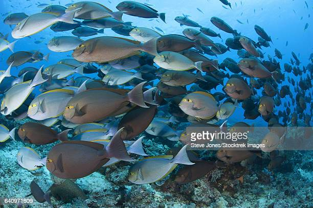 A dense school of yellowmask surgeonfish, Indonesia.
