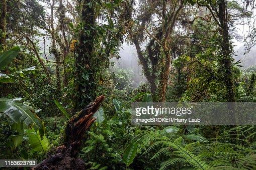 Dense Vegetation In Cloud Forest Reserva Bosque Nuboso Santa Elena Guanacaste Province Costa Rica High Res Stock Photo Getty Images