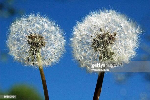 dentes de leão - dandelion (taraxacum officinale) - moura stock photos and pictures