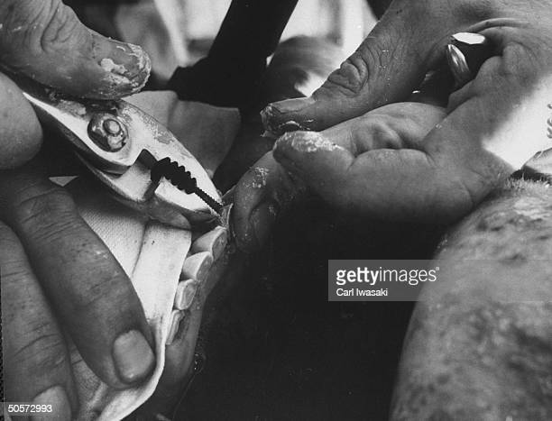 Dentist inserting caps for grounddown teeth on cow