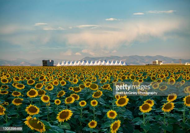 denver colorado sunflower field near airport - denver international airport stock pictures, royalty-free photos & images