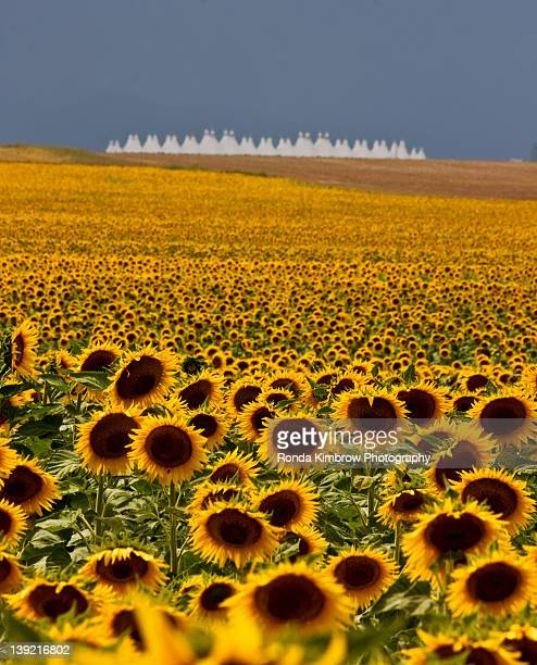 denver international airport and sunflowers - denver international airport stock pictures, royalty-free photos & images
