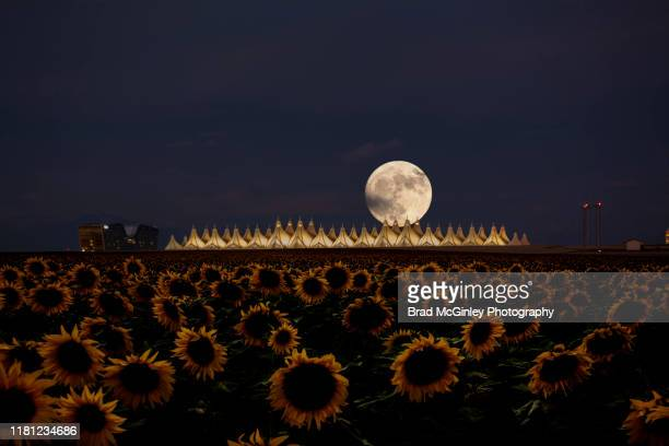 denver international airport full moon sunflower field - denver international airport stock pictures, royalty-free photos & images