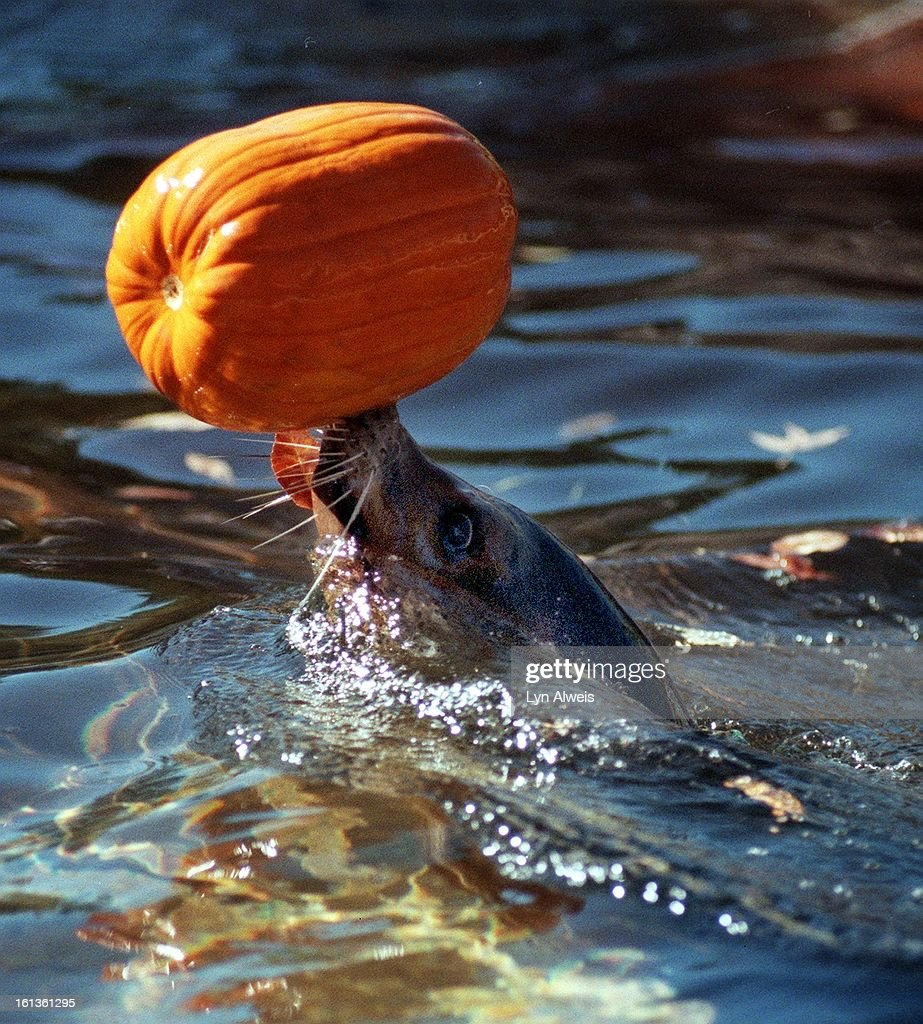 Denver Zoo Animals Played With And Sometimes Ate Pumpkins