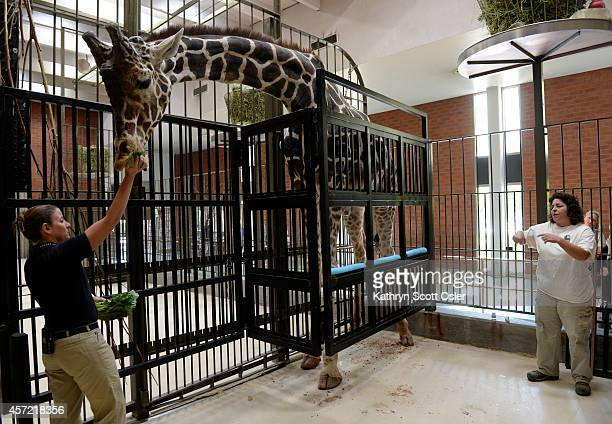 Denver Zookeepers Amanda Faliano left and Karen Stern Scott perform a training session with the male giraffe Dikembe Faliano gives the animal a few...