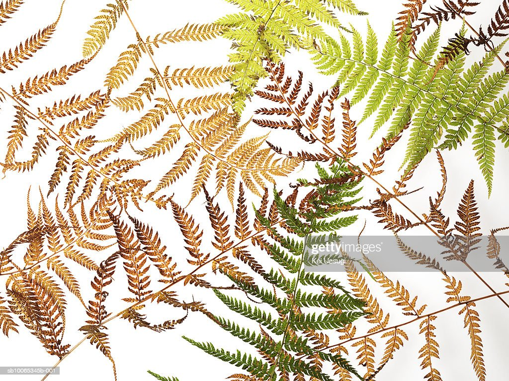 Deparia agains white background, close-up : Foto stock