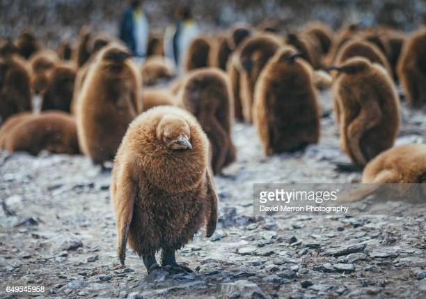 depressed chick - king penguin stock pictures, royalty-free photos & images