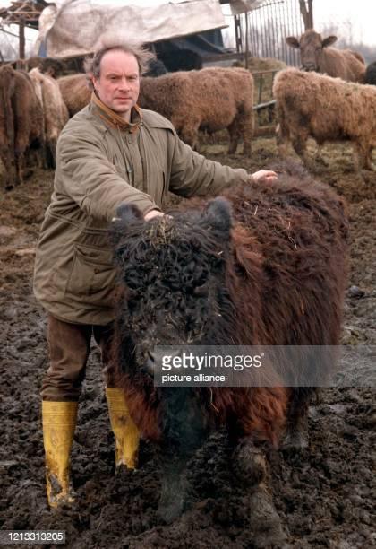 """Der Bremer Öko-Landwirt Johannes Schettler-Wiegel führt am 7.2.1997 auf einer Weide im Bremer Umland die Galloway-Kuh """"Karmen"""" vor. Sie ist der..."""