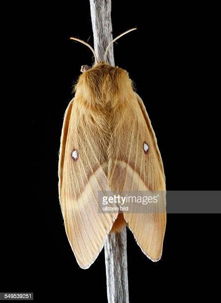 Der Eichenspinner oder Quittenvogel ist ein Schmetterling aus der Familie der Glucken