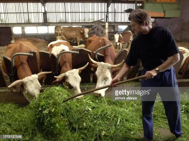 Der Öko-Landwirt Klaus Ruoff versorgt am 23.8.2000 im Demeterbetrieb Sonnenhof bei Bad Boll seine Milchkühe mit frischem Grünfutter. Der gelernte...