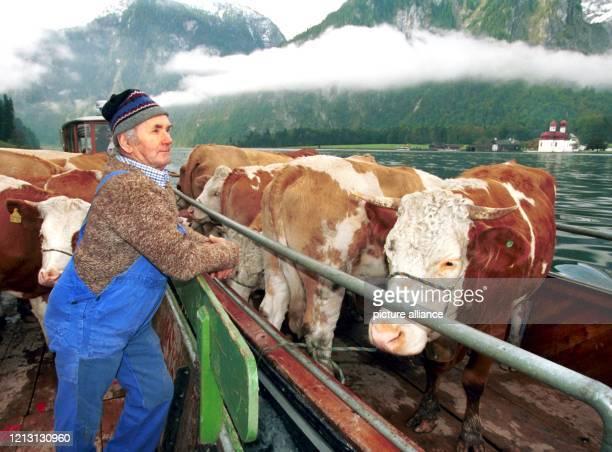 Der Landwirt Albert Radlmaier aus Ramsau begleitet am 8.10.1999 im Morgennebel 14 Kühe auf ihrer Fahrt auf zwei zusammengebundenen Landauern über den...