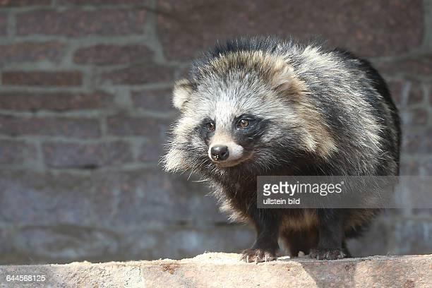 Der Marderhund Tanuki oder Enok seltener auch Obstfuchs Nyctereutes procyonoides Neozoon