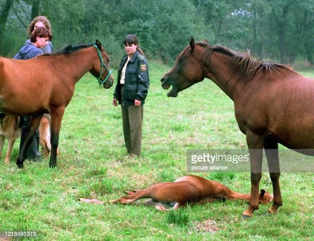 """Der """"Pferderipper"""" hat wieder zugeschlagen: Vor einem getöteten zwei Monate alten Vollblut-Araber-Fohlen stehen am 10.9.1999 auf einer Weide bei..."""