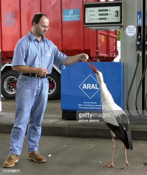 Der Tankstellenpächter Oliver Dirr füttert am 472000 an seinem Arbeitsplatz am deutschschweizerischen Grenzübergang Weil am Rhein einen Storch mit...