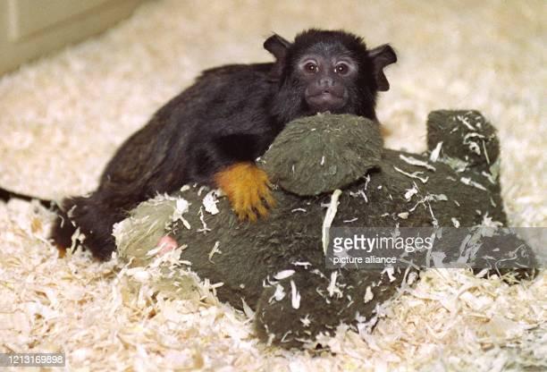 """Der vier Monate alte Rothand-Tamarin """"Cameron"""" klammert sich am 12.4.1999 im Tierpark Gettorf an seine Plüschtier-Ersatzmutter """"Antje"""". Ohne seine..."""