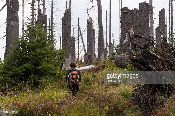 Der Wald im Zwieseler Filz bei Buchenau im Naturschutzgebiet Schachten und Filze im Nationalpark Bayerischer Wald wurde durch den Orkan Kyrill im...