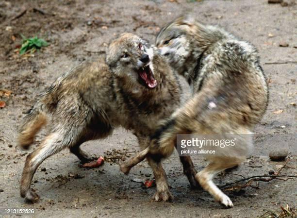 """Der Wolfsrüde """"Donner"""" und seine noch namenlose Gefährtin führen am 8. April 1999 im Wildpark Schwarze Berge bei Hamburg Scheinkämpfe um ihre..."""