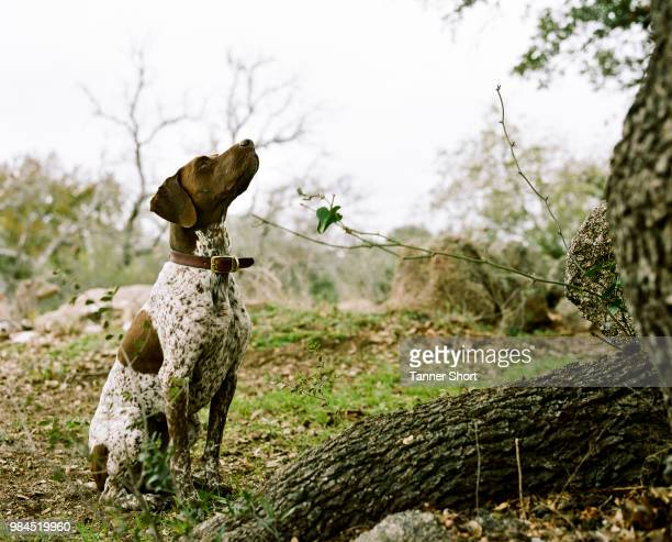 derby - german shorthaired pointer stock pictures, royalty-free photos & images