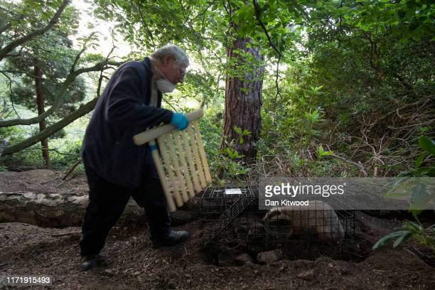 Derbyshire Badger Vaccination team volunteer Fred Dyson approaches a rare Erythristic Badger cub caught in a trap to be vaccinated on September 03...