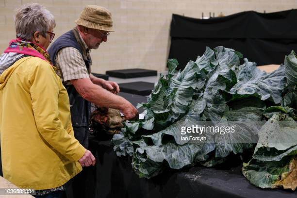 Derek Taylor from Barnsley arranges his giant cabbage as he prepares for the giant vegetable competition on the first day of the Harrogate Autumn...