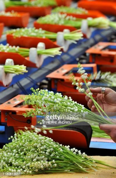 Des employés trient des brins de muguet sur le site de production de la SCEA de La Salle le 25 avril 2008 à Martillac L'Aquitaine est la deuxième...