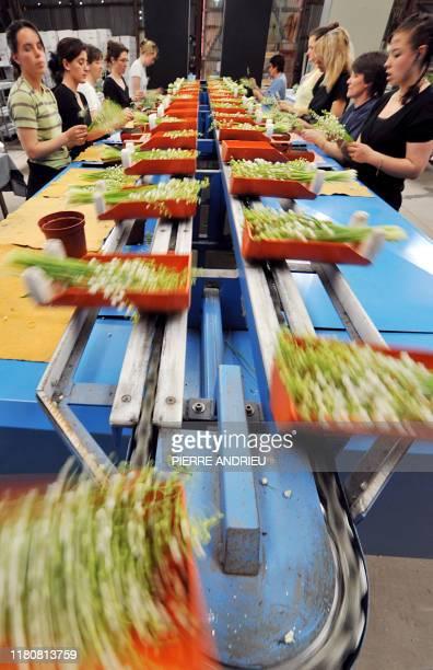 Des employés trient des brins de muguet sur le site de production de la SCEA de La Salle, le 25 avril 2008 à Martillac. L'Aquitaine est la deuxième...
