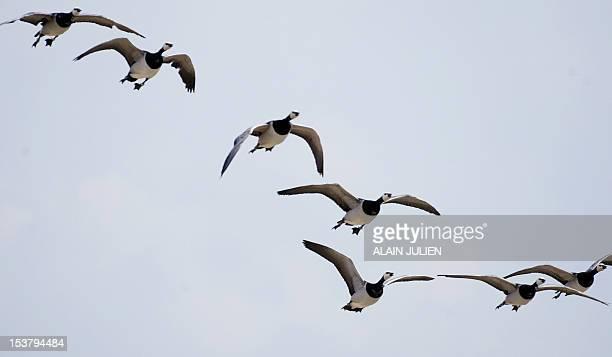 Des oiseaux Bernaches Nonnettes appartenant au pilote d'ULM Christian Moullec sont photographiés le 25 juin près de Reims lors d'un meeting aérien...
