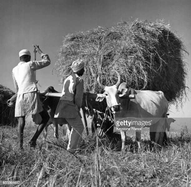Des paysans rentrent la moisson les chars à boeufs lourdement chargés emmènent la récolte vers le rizeries dans la région du Terraï en Inde en 1951