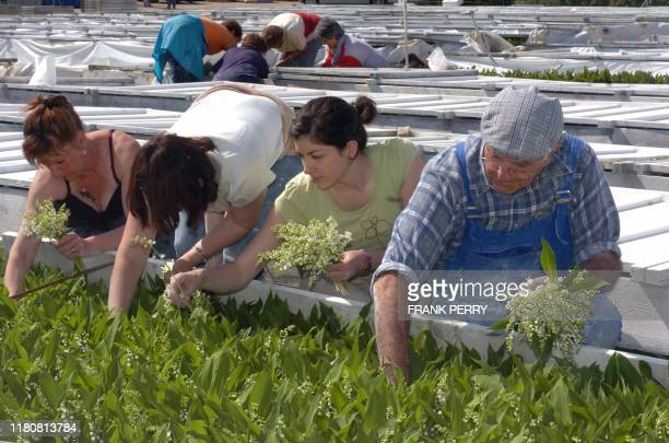 LE MUGUET DE 2007 AURA UNE BONNE LONGUEUR ET UNE BONNE FERMETE Des personnes cueillent du muguet dans l'exploitation de monsieur et madame Richard...