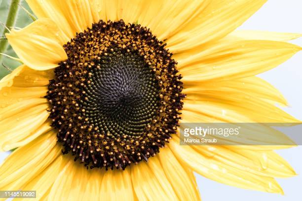 desaturated bright full frame sunflower - desaturated stock pictures, royalty-free photos & images