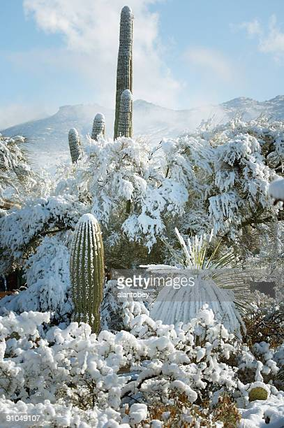desert and cactus in the snow - sonoran desert stock pictures, royalty-free photos & images