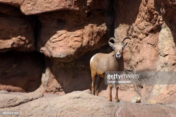 Desert Bighorn Ram looks at visitors at the ArizonaSonora Desert Museum in Saguaro National Park near Tucson Arizona