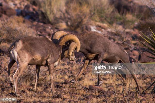 Desert bighorn rams clash horns to establish power and dominance as the the mating season heats up in the Trilobite Wilderness region of Mojave...