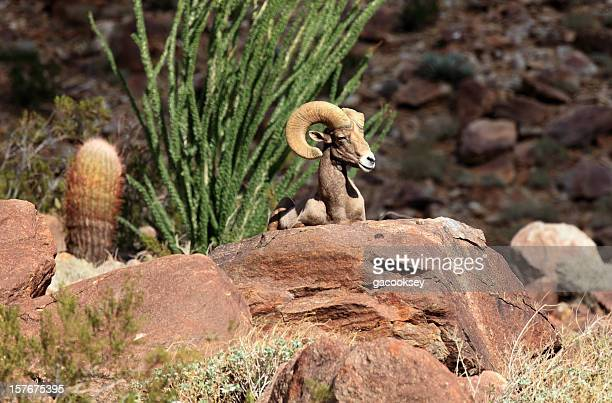 desert bighorn sheep - ram animal stock photos and pictures