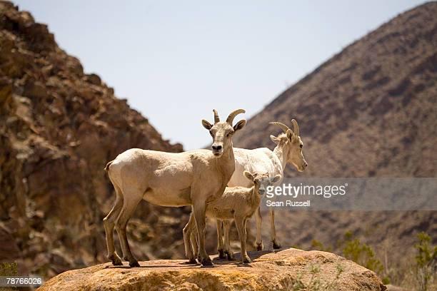 Desert Bighorn Sheep standing on a flat rock