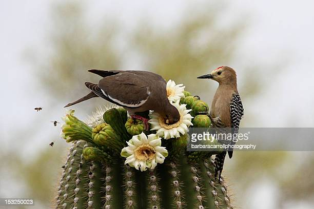 Desert birds and bees eating from cactus flowers
