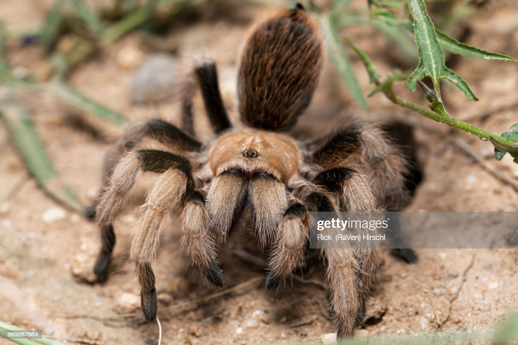 Desert Blonde (Aphonopelma chalcodes) 006a frontal : Stock Photo