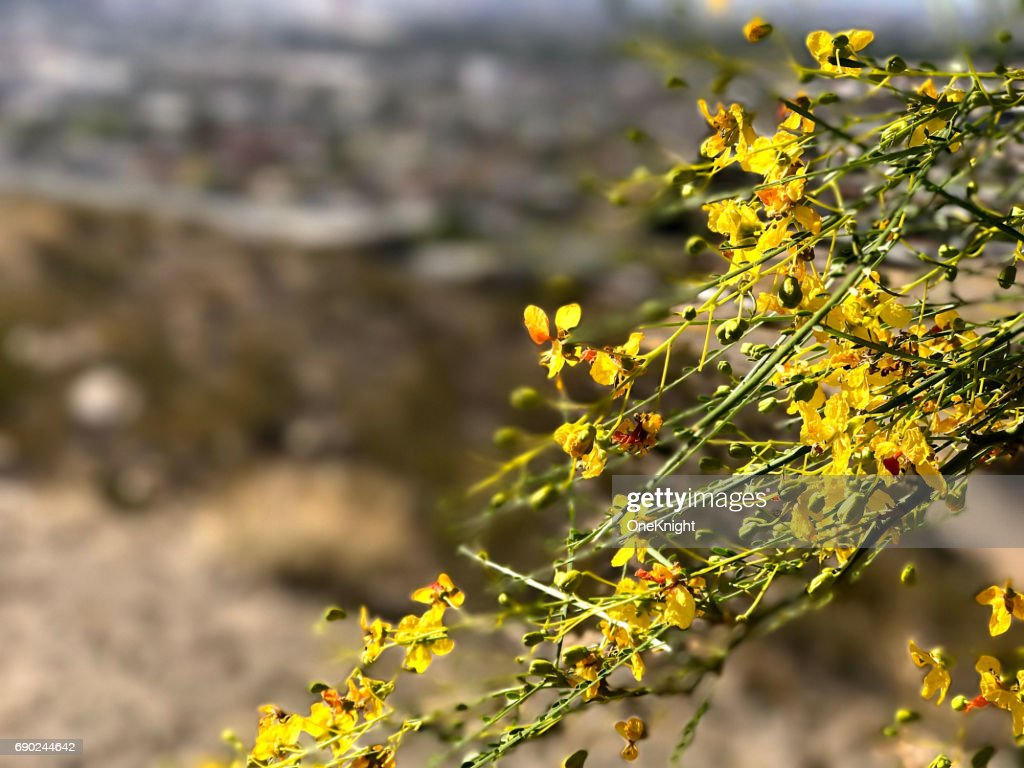 Desert Bush With Yellow Flowers Stock Photo Getty Images
