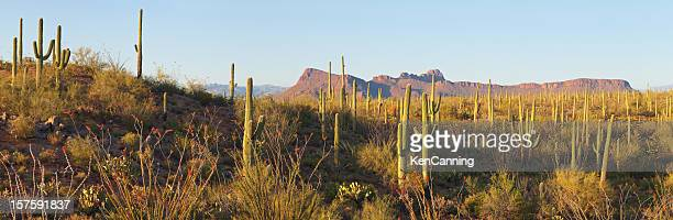 desert cactus panorama - saguaro cactus stock pictures, royalty-free photos & images