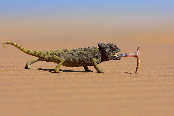 Desert Chameleon Catching A Worm Wall Art