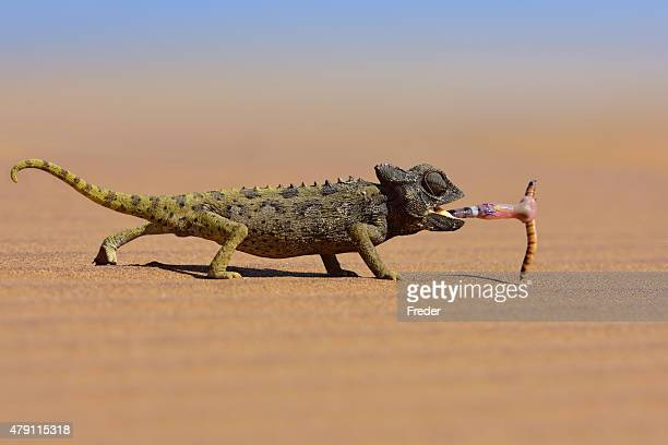 desert chameleon catching a worm - chameleon stock photos and pictures