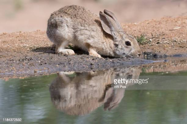 Desert Cottontail drinking with reflection Southern Arizona