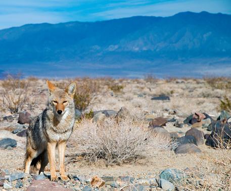 Desert Coyote Watching You 625943418