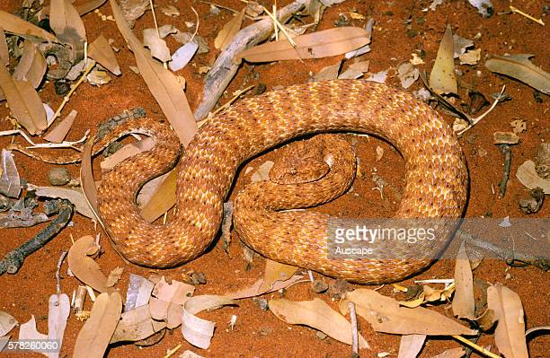 Desert death adder Acanthophis pyrrhus like all in this genus uses its narrow tail as a lure Near Giralia Homestead north of Carnarvon Western...
