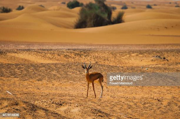 desert deer! - springbok deer stock photos and pictures