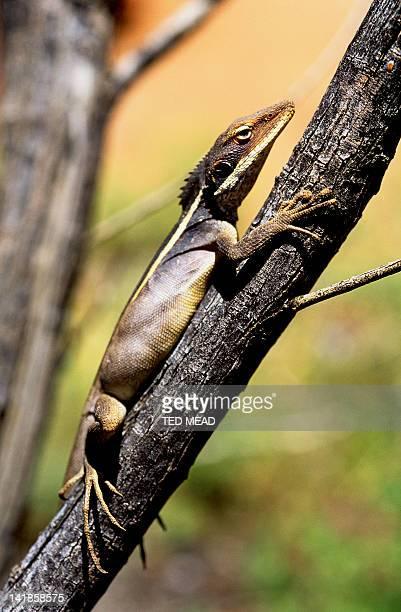 Desert Dragon ( Diporiphora spp ) in the Western Desert Regions of Central Australia.
