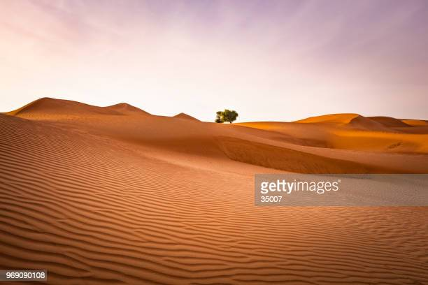 desert dream, wahiba sands desert, sultanate of oman - mimosa stock pictures, royalty-free photos & images