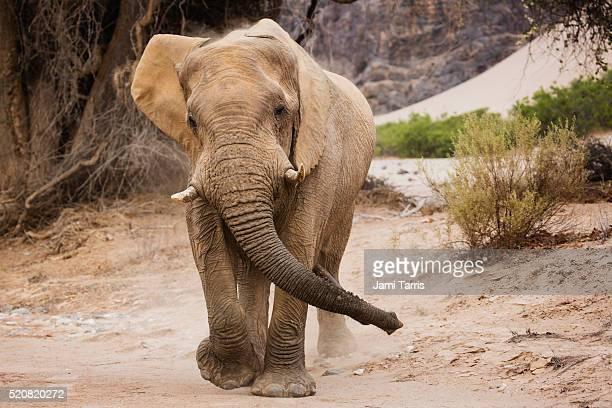 desert elephant bull charging aggressively - desert elephant stock pictures, royalty-free photos & images