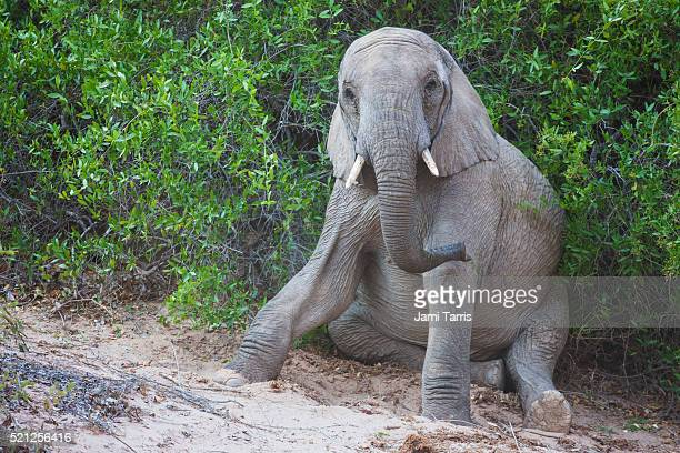desert elephant calf rests after a rigorous play session - desert elephant stock pictures, royalty-free photos & images